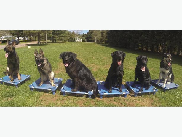 Obedience/Behaviour Modification Consultations Unleashed Potential K9 Academy