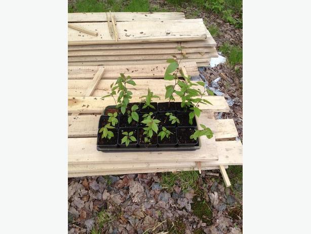 """ YELLOW BIRCH "" seedlings and saplings"