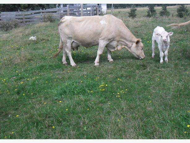 Charolais Crossbred Cow and Outstanding Charolais Bull Calf